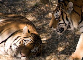 Foto Zoo Schmiding Tiger